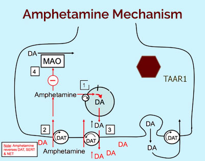 mechanism of amphetamine